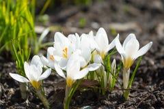 Açafrões brancos da mola Fotografia de Stock Royalty Free