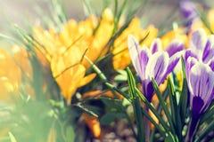 Açafrões brancos da mola e amarelos violetas das flores Imagens de Stock Royalty Free