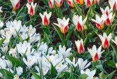 Açafrões brancos da mola e tulipas branco-vermelhas (macro) Fotografia de Stock