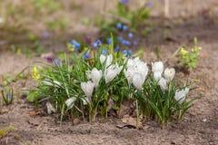 Açafrões brancos de florescência Fotos de Stock