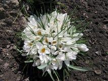 Açafrões brancos de florescência Foto de Stock Royalty Free