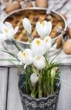 Açafrões brancos de florescência Fotografia de Stock Royalty Free