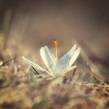 Açafrões brancos de florescência Foto de Stock