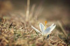Açafrões brancos de florescência Imagens de Stock