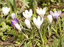 Açafrões brancos e roxos Fotos de Stock