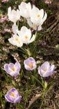 Açafrões brancos e roxos Imagem de Stock