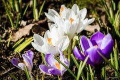 Açafrões brancos e violetas que crescem nos animais selvagens Foto de Stock Royalty Free