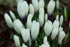 Açafrões brancos em um prado da mola Imagem de Stock