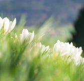 Açafrões brancos em uma inclinação gramínea Foto de Stock Royalty Free