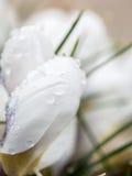 Açafrões brancos frescos Fotos de Stock Royalty Free