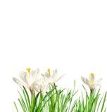 Açafrões brancos na grama Fotografia de Stock Royalty Free