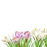 Açafrões brancos na grama Fotos de Stock Royalty Free