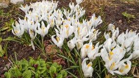 Açafrões brancos na primavera Fotografia de Stock