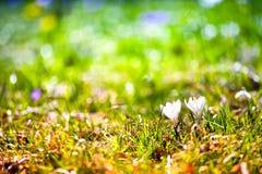 Açafrões brancos no prado verde Fotos de Stock Royalty Free