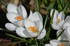 Açafrões brancos puros Fotos de Stock Royalty Free
