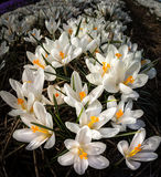 Açafrões brancos que crescem nos campos na Holanda Fotos de Stock Royalty Free
