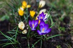 Açafrões brancos, violetas e amarelos da florescência Foto de Stock Royalty Free