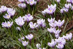 açafrões brilhantes bonitos de florescência Fotografia de Stock