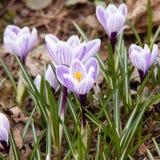 açafrões brilhantes bonitos de florescência Fotos de Stock