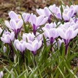 açafrões brilhantes bonitos de florescência Imagem de Stock Royalty Free