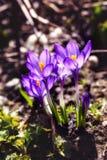 Açafrões brilhantes da mola em um jardim Foto da natureza do close up Imagem de Stock Royalty Free