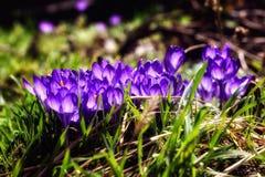Açafrões brilhantes da mola em um jardim Foto da natureza do close up Foto de Stock Royalty Free