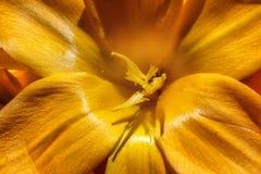Açafrões brilhantes da mola em um jardim Foto da natureza do close up Fotografia de Stock Royalty Free