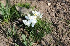 Açafrões brilhantes florescidos na mola em abril Fotos de Stock