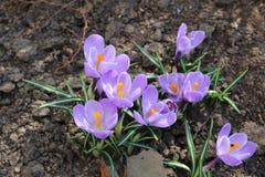 Açafrões brilhantes florescidos na mola em abril Imagens de Stock Royalty Free