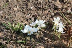 Açafrões brilhantes florescidos na mola em abril Imagem de Stock Royalty Free