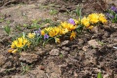 Açafrões brilhantes florescidos na mola em abril Imagem de Stock