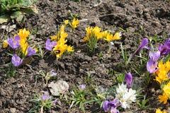 Açafrões brilhantes florescidos na mola em abril Fotografia de Stock Royalty Free