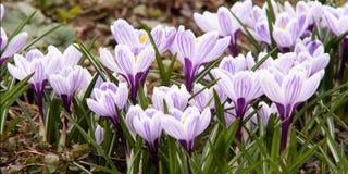 açafrões brilhantes listrados de florescência Foto de Stock Royalty Free