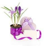 Açafrões, a caixa de presente decorada com fitas Imagens de Stock