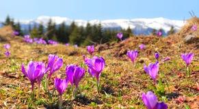 Açafrões Carpathian Imagem de Stock