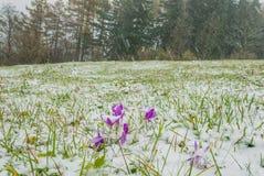 Açafrões cobertos com a neve Fotos de Stock