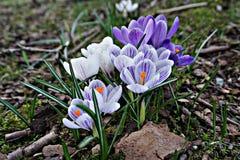 Açafrões coloridos bonitos Imagens de Stock
