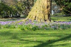 Açafrões com árvore em um prado Imagem de Stock Royalty Free