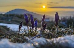 Açafrões com gotas da água contra a cena do nascer do sol Fotografia de Stock Royalty Free