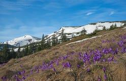 Açafrões contra o fundo nevado das montanhas Fotos de Stock Royalty Free