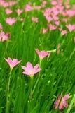 Açafrões cor-de-rosa no dia de mola Imagens de Stock