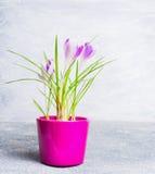 Açafrões cor-de-rosa no potenciômetro de flores no fundo claro Imagens de Stock Royalty Free
