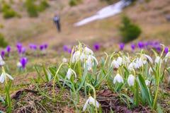 Açafrões da flor da montanha na montanha carpathian Fotos de Stock