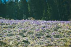 Açafrões da flor da montanha na montanha carpathian Foto de Stock