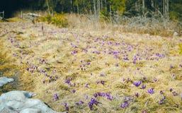 Açafrões da flor da montanha na montanha carpathian Imagem de Stock