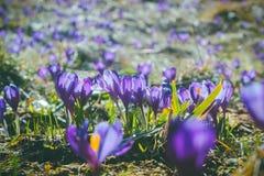 Açafrões da flor da montanha na montanha carpathian Imagens de Stock Royalty Free