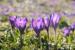 Açafrões da flor da montanha na montanha carpathian Imagens de Stock