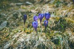 Açafrões da flor da montanha na montanha carpathian Imagem de Stock Royalty Free