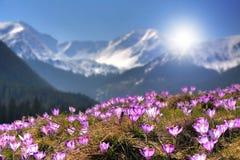 Açafrões da flor da montanha na montanha de Tatra Foto de Stock Royalty Free