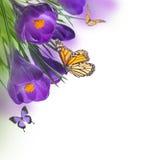 Açafrões da mola com borboleta Imagens de Stock